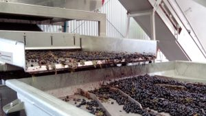 Grapes being destemmed in the fancy machine at Yangarra, as seen on a wine tour of McLaren Vale