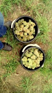 Buckets of hand-picked Chardonnay on a wine tour in the Adelaide Hills