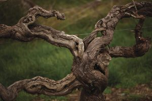 150 year old Hill of Grace vine in the Barossa